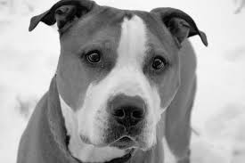 american pitbull terrier qualities pin by jackson the bulldog on american pit bull terrier