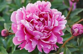 Peony Flower How To Grow And Care For Peony Love The Garden