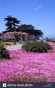 pink succulent blossoms are a sign of spring along pacific grove s
