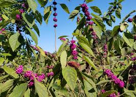 native plants in landscape management use native beautyberry for fall landscape color mississippi