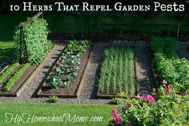 Plants That Repel Aphids by 10 Herbs That Repel Garden Pests Hip Homeschool Moms