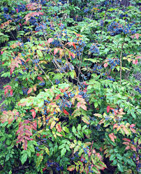 plants native to oregon foraging for oregon grape