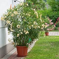 topfpflanzen balkon balkonpflanzen lexikon pflanzen auf dem balkon