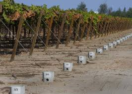 Trellis System Raisin Grape Vines Being Grown On An Overhead Trellis System