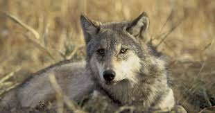 who s afraid of the big bad wolf keeping keystone predators alive