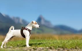 my curli curli dogfinder can help you find your dog if lost
