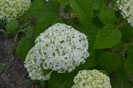 annabelle hydrangea propagation how to root cuttings