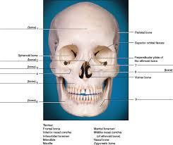 Human Anatomy Skull Bones Chapter 14 Solutions Laboratory Manual For Human Anatomy