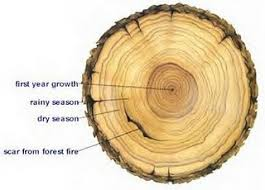 12 best tree rings ideas images on tree ring