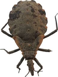 Texas travel bug images Faq kissing bugs and chagas disease in the u s texas a m jpg