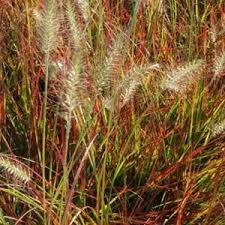 grass burgundy bunny grasses plants flowers