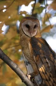 Where Does The Barn Owl Live Barn Owl