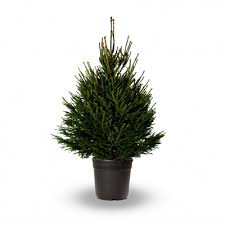 spruce real potted tree