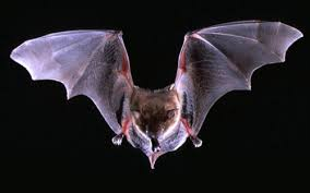 mammiferi volanti i pipistrelli preziosi per l ecosistema come proteggerli