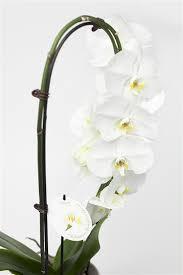 orchid plants phalaenopsis orchid plants orchids florist hamilton cambridge