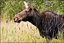moose spotting algonquin park u2013 fractions
