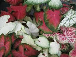 mixed color caladium bulb packages