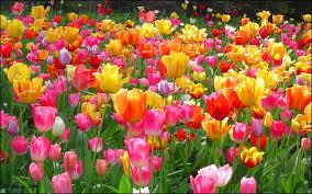 eleletsitz tulip flower garden wallpaper images