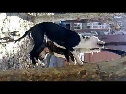 american pitbull terrier jaw pitbulls bite and won u0027t let go youtube