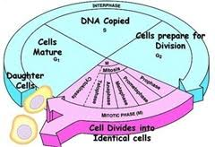 multiple choice quiz on mitosis biology multiple choice quizzes