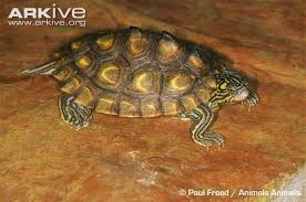 map turtle yellow blotched map turtle photos and facts graptemys