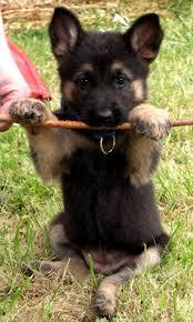 belgian sheepdog puppy best 25 german shepherds ideas on pinterest german sheperd dogs