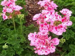 pelargonium geranium u2013 easy flower project to start a spring
