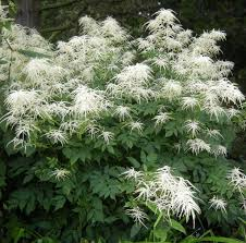 7 best shade plants images on pinterest flowers garden front