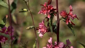 california native plant seeds clarkia california native garden ep 15 youtube