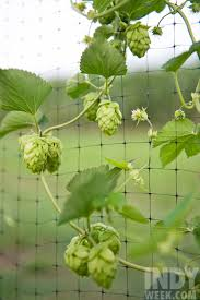 is there a future for north carolina hops farming food feature