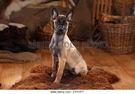 belgian malinois en espanol belgian malinois dog sitting stock photos u0026 belgian malinois dog