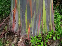rainbow eucalyptus the most colorful tree on earth amusing planet
