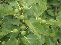 What Fruit Trees Grow In Texas - trees maas nursery