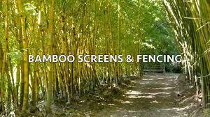 bamboo land nursery and parklands bamboo australia belli bamboo parkland youtube