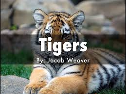 tiger haiku deck by j weaver1498