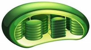 which plant cell organelle uses light energy to produce sugar chloroplast uses light energy to make sugar in a plant cell