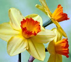 15 gorgeous daffodil varieties