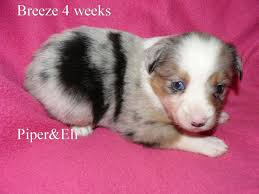australian shepherd 11 weeks old piper and eli u0027s puppies kicks and giggles mini aussies