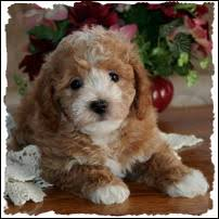 bichon frise dog breeders mixed breed puppies puppy for sale toy non shed dog breeders iowa
