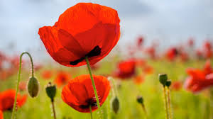 why do poppy flowers open in the morning and close at night