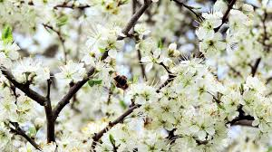 apple tree bloom wallpapers blossom tag wallpapers pear macro spring blossom tree flowers
