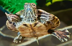 Blind Turtle Prices Consumer Updates U003e Pet Turtles Cute But Commonly Contaminated