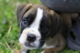 boxer dog price boxer puppies for sale home facebook