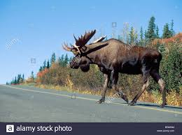 bull moose crossing road in stock photos u0026 bull moose crossing
