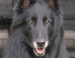 belgian shepherd x greyhound life span of belgian shepherd dog