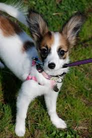 papillon called the continental spaniel
