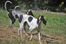 bluetick coonhound gascon ukc forums crossbred breed
