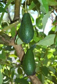 Garden Growing Zones - growing avacado trees in houston zone 9 organic gardening