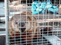 how to get rid of raccoons angie u0027s list