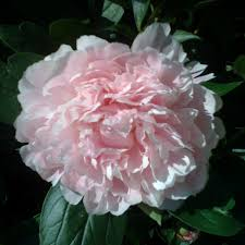 peonies for sale bernhardt peony buy online at nature nursery